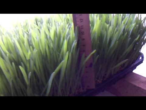 Выращивание зеленого витаминного корма. 6 и 7 день. Зеленый Гидропонный Корм.