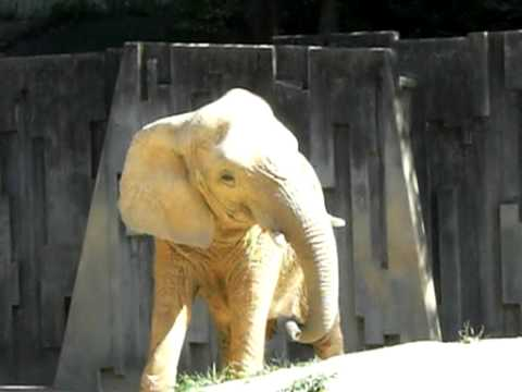 東山動物園 アフリカゾウ
