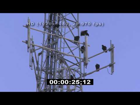 Cell towers - Vultures - HD Stock Video - Birds - Stock Footage