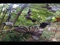 Burung kutilang - Pikat burung kutilang gacor pasti dapat suara keras harga selangit