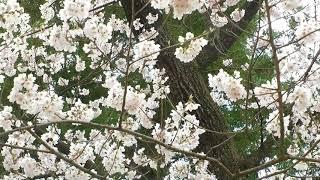 保原町薬師堂の桜