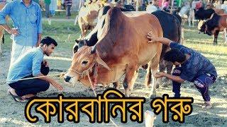 Bangla New Funny Video। কোরবানির গরু। Korbanir Goru । Korbanir Eid Special। New Video 2017