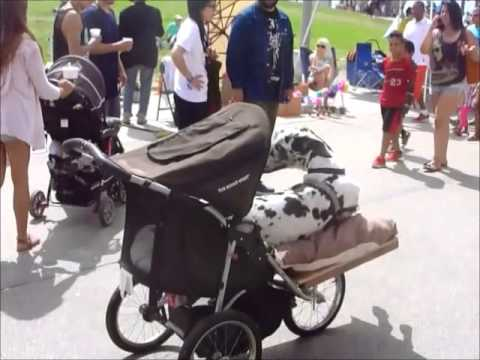Kimba the stroller Great Dane visits Venice Beach