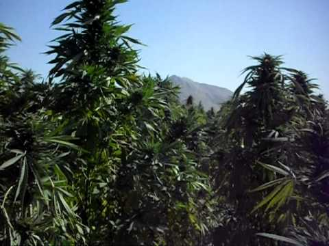 Big Afghanistan pot field.AVI