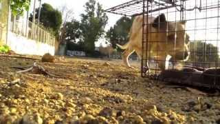 NEW ENDING - An Abused street dogs second chance - Ralph's rescue and rehab.