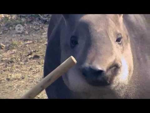 Juznoamericki nizinski tapir - Robi