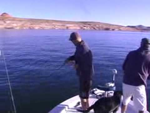 Lake powell striped bass fishing youtube for Lake powell fishing license