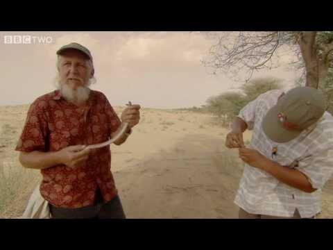 Collecting Viper Venom - Natural World: One Million Snake Bites, Preview - BBC Two