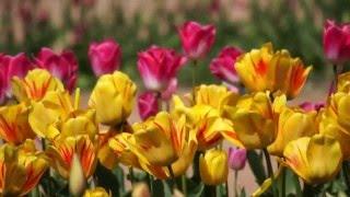 Весна в Никитском ботаническом саду: выставка тюльпанов HD 1080i