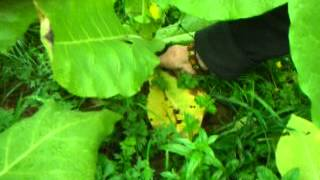 growing golden virginia tobacco in the uk part 2.MOV