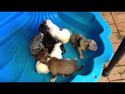 Puppies - Gumtree advert 1111592550