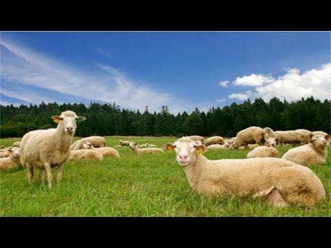 Curso Melhoramento Genético de Ovinos - O que é o Melhoramento Genético