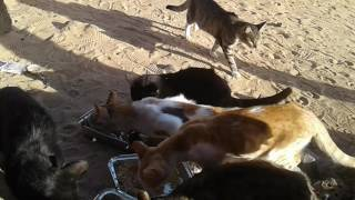 Royaume  des chats