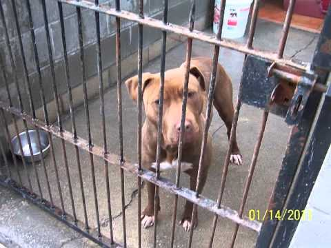 27 Pit Bulls Need Rescue Los Angeles, CA