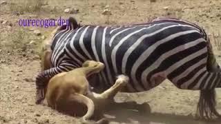 Lion vs  Zebra Animals Attack Lion vs Buffalo