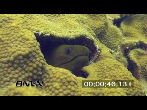 6/22/2007 Juvenile Green Moray stock footage