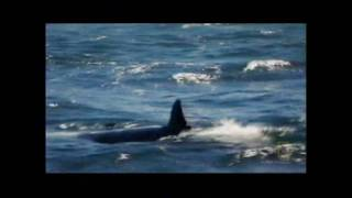 Great White vs. Orca