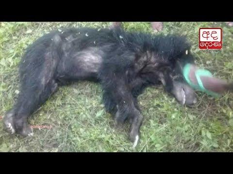 a bear has been shot|eng