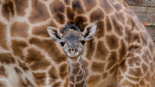 Baby Giraffe at the Houston Zoo