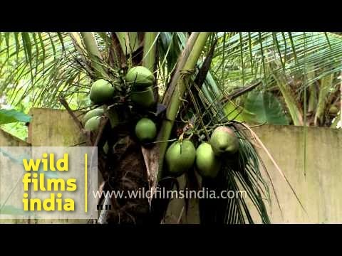 Coconut plantation in Kerala - India