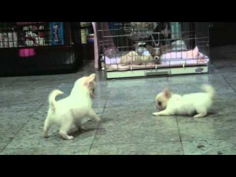 So Cute Chihua hua in Thailand