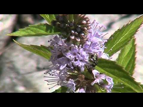 Mentha Arvensis Uses Field Mint Mentha Arvensis