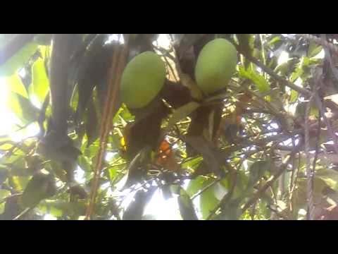 Indian Mango Tree Video video