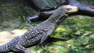 Indonesia Reptile Farm-part 2 VARANUS