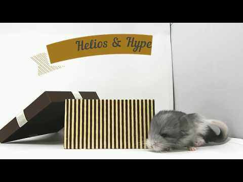 Gromit & Gucci explore the world :-) 5 days old royal persian angora chinchillas