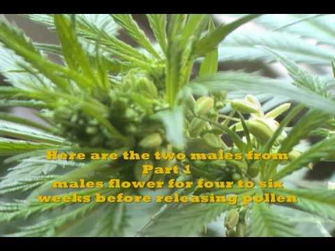WWOC! Outdoor Flowering To Harvest Part 2
