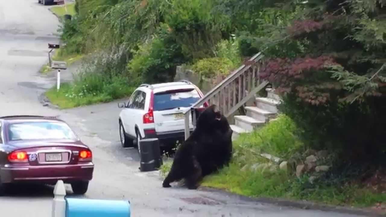 Deux ours se battent devant des maisons