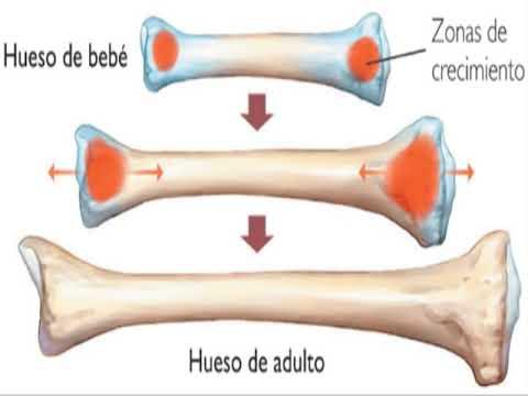 Sistema óseo, características generales