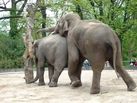 Elephant Sex video