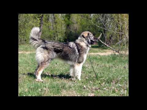 CARPATIN SHEPHERD DOG-CIOBANESC ROMANESC CARPATIN.avi