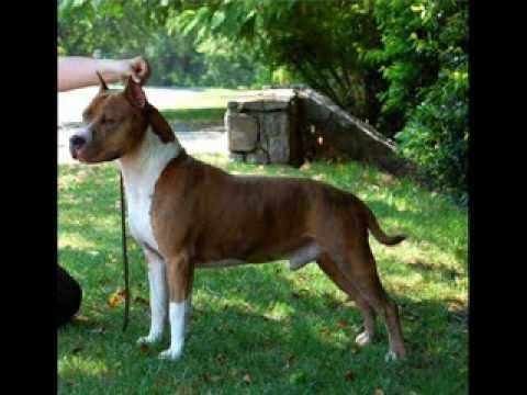 differences between staffordshire bull terrier and american staffordshire terrier
