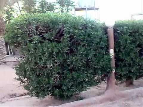 اشجار خطيره -- في السعوديه والوطن العربي Music Videos