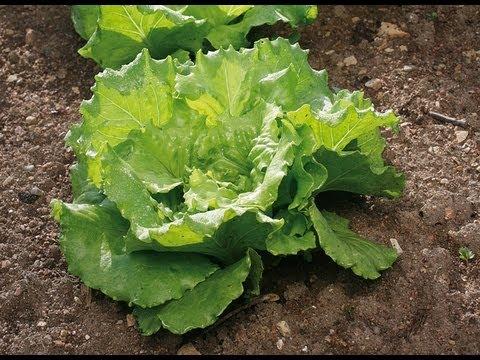 Planter les salades d 39 hiver youtube - Comment tailler les geraniums pour l hiver ...