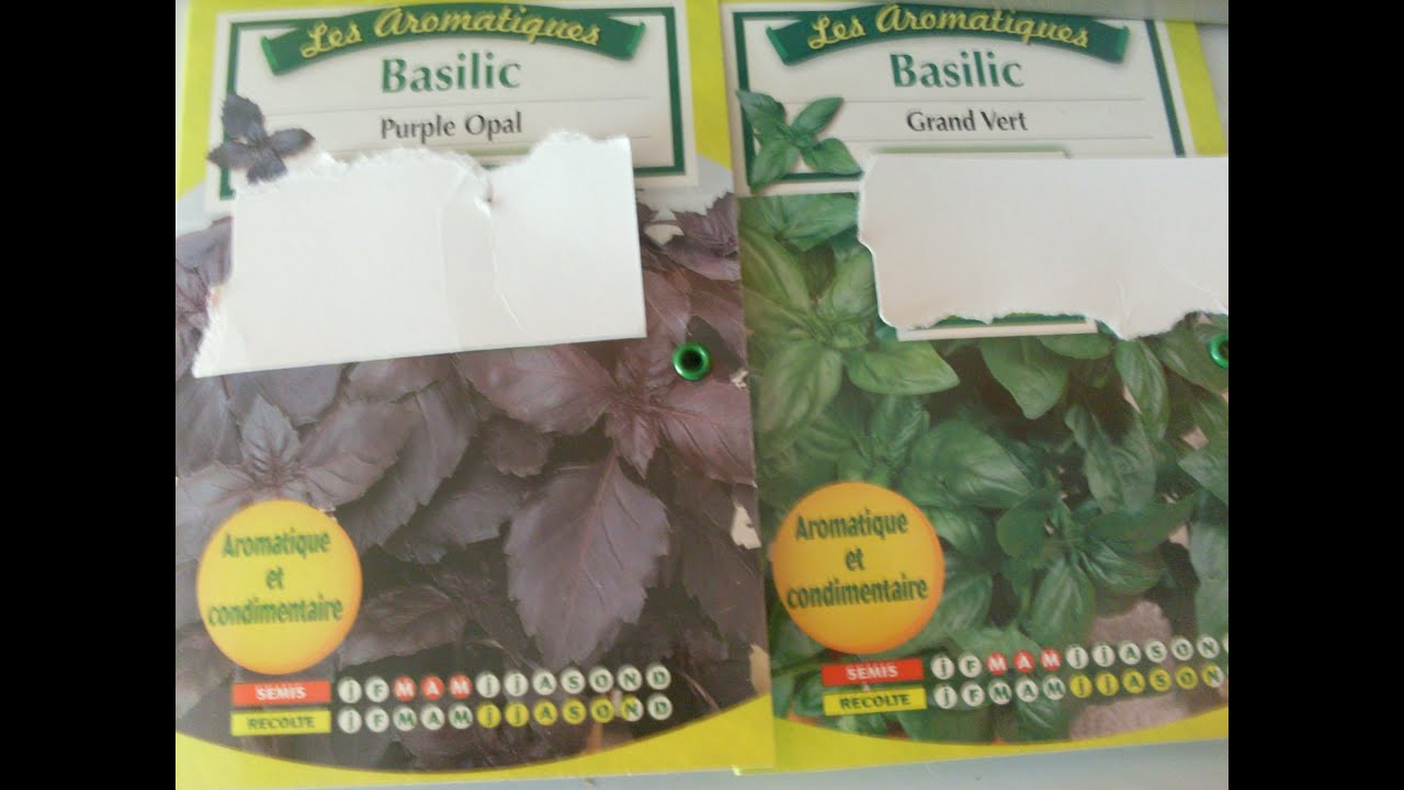 comment semer du basilic how to plant basil in pots