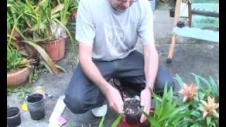 Bromeliads Online - How to plant pups