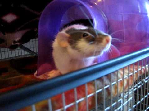 funny pet videos. Funny Pet Rats