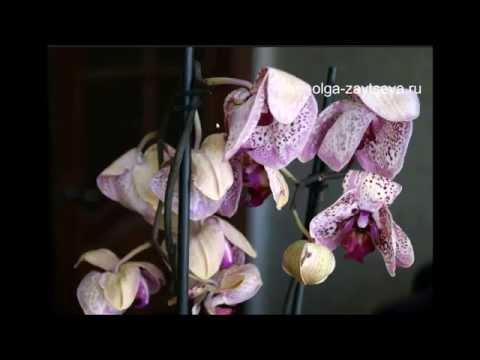 визначити почему вянет орхидея что делать только