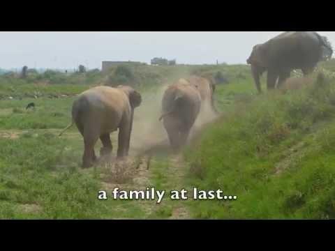 Raju elephant's journey with Wildlife SOS
