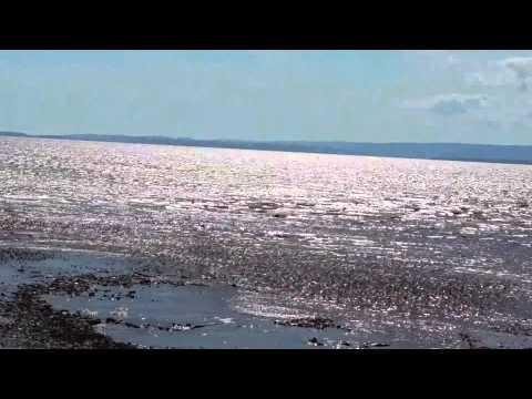 Sandpiper Migration - Johnson's Mills, New Brunswick