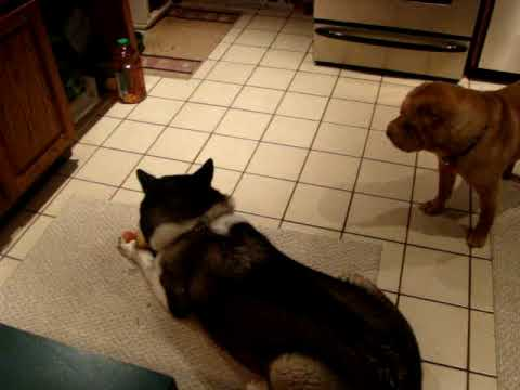 Japanese Akita and Chinese Shar Pei fight over toy Video