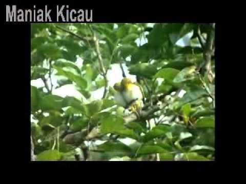 Kompilasi Suara Kicau Burung Pleci Durasi Panjang Mantab! video