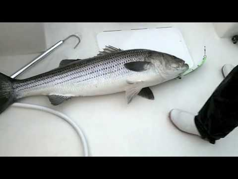 Striper & Fluke Fishing May 2011