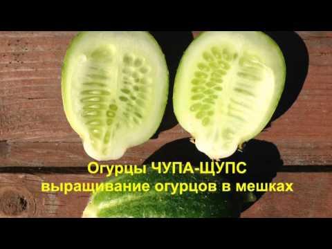 Цитрон огурец выращивание 45
