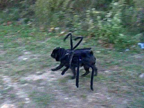 Gus the Spider Pug Out for a Walk