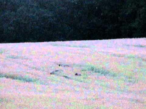 Divočáci v pšenici I.