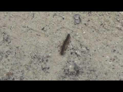 Мальдийская гусеница, Аnimals,Tiere